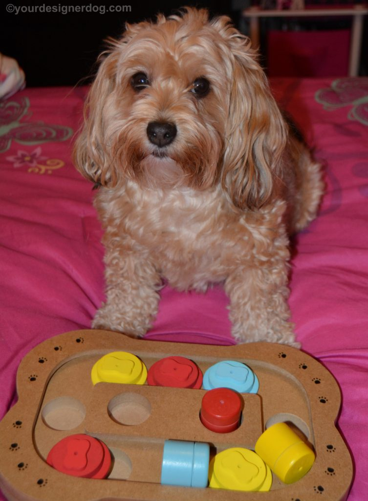 dogs, designer dogs, Yorkipoo, yorkie poo, puzzle, dog toy, play