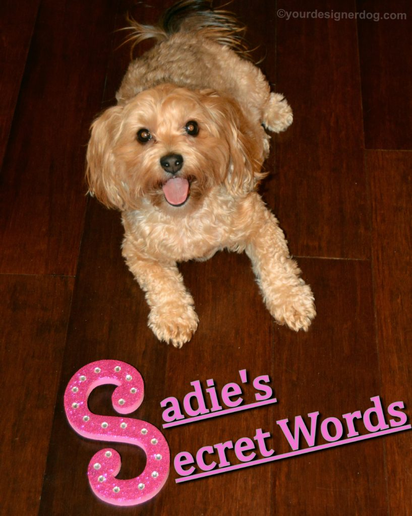 dogs, designer dogs, Yorkipoo, yorkie poo, secret word