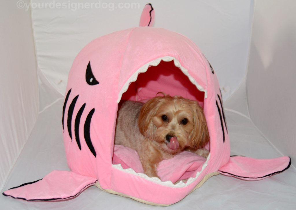 dogs, designer dogs, Yorkipoo, yorkie poo, shark, dog house, dog bed, shark week