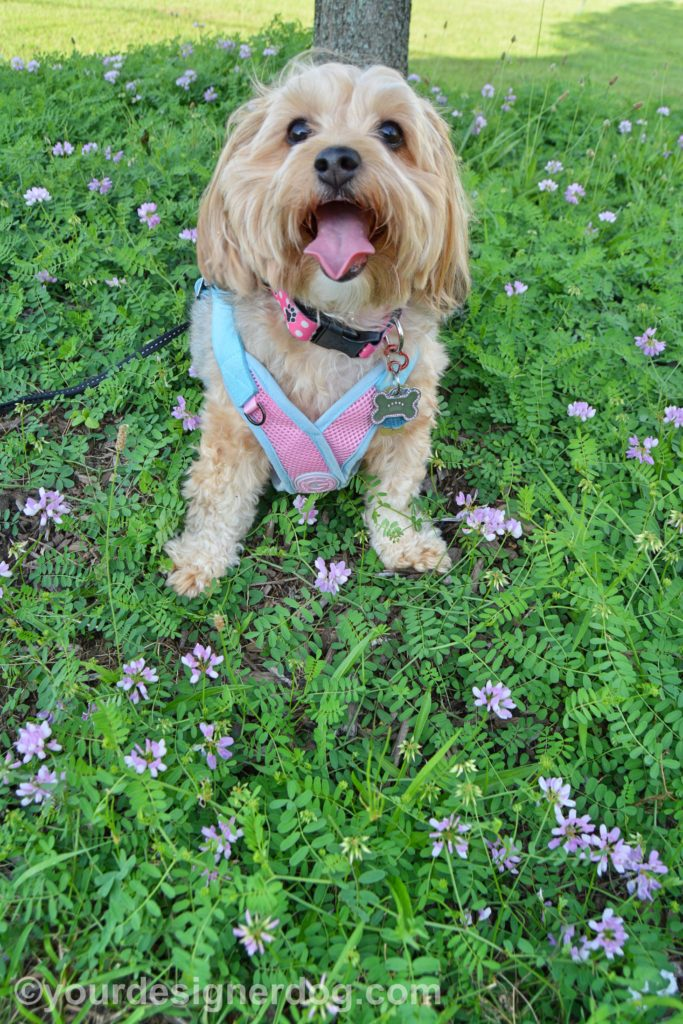 dogs, designer dogs, Yorkipoo, yorkie poo, tongue out, weeds, wildflowers