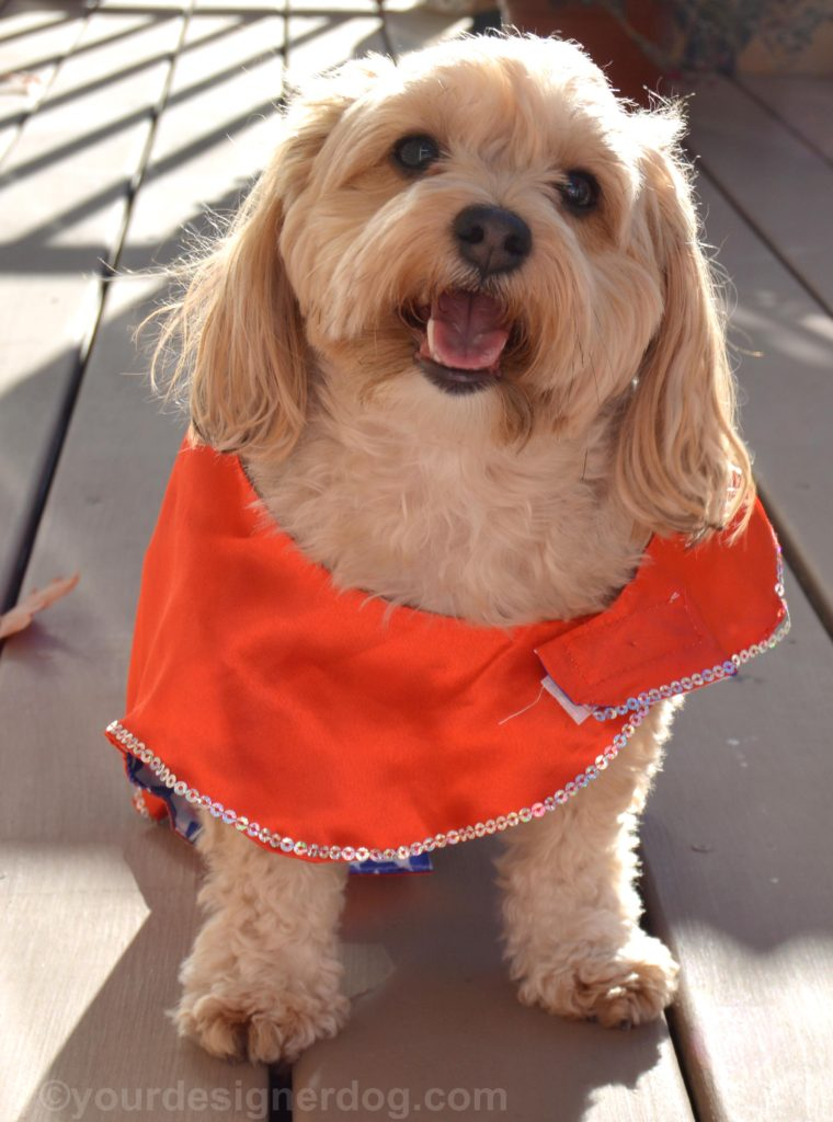 dogs, designer dogs, Yorkipoo, yorkie poo, tongue out, dog smiling