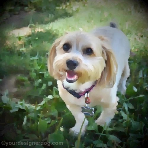dogs, designer dogs, yorkipoo, yorkie poo, digital art, pet portrait, dog smiling