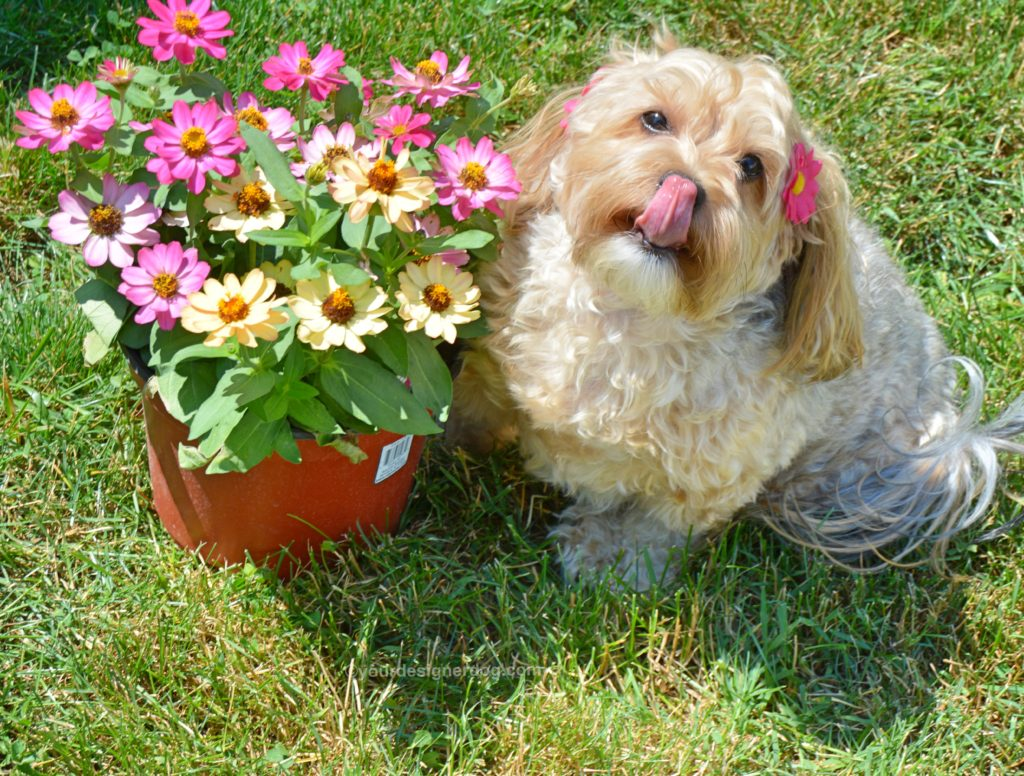 dogs, designer dogs, Yorkipoo, yorkie poo, dogs with flowers, bloopers, daisies