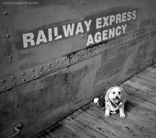 dogs, designer dogs, Yorkipoo, yorkie poo, railroad, train, black and white photography