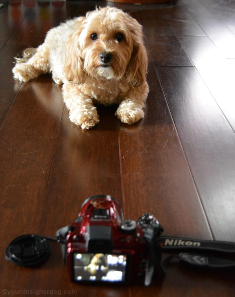 dogs, designer dogs, yorkipoo, yorkie poo, camera, dslr, nikon