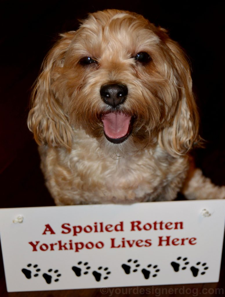 dogs, designer dogs, Yorkipoo, yorkie poo, spoiled, dog smiling, tongue out