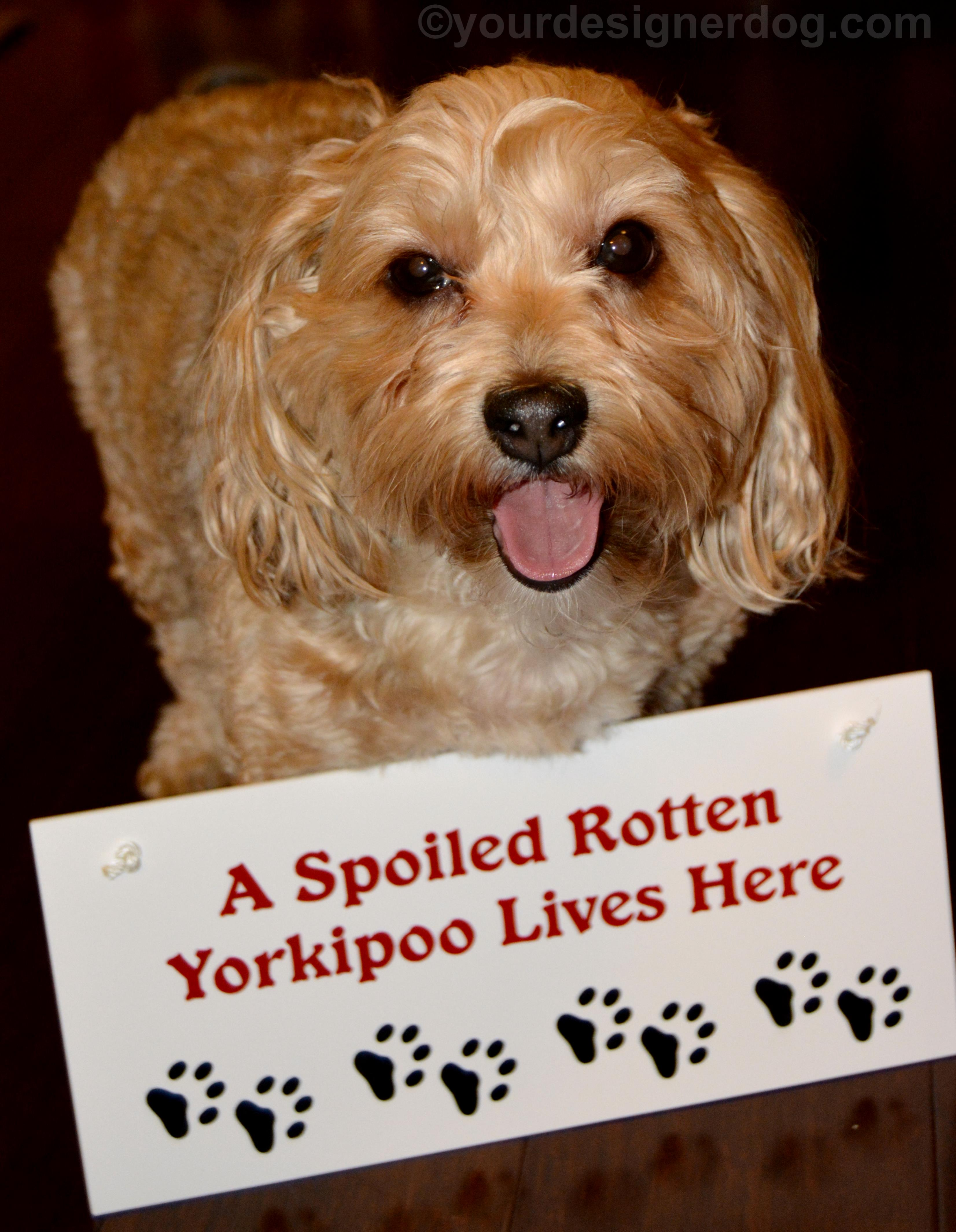 A Spoiled Rotten Yorkipoo Lives Here