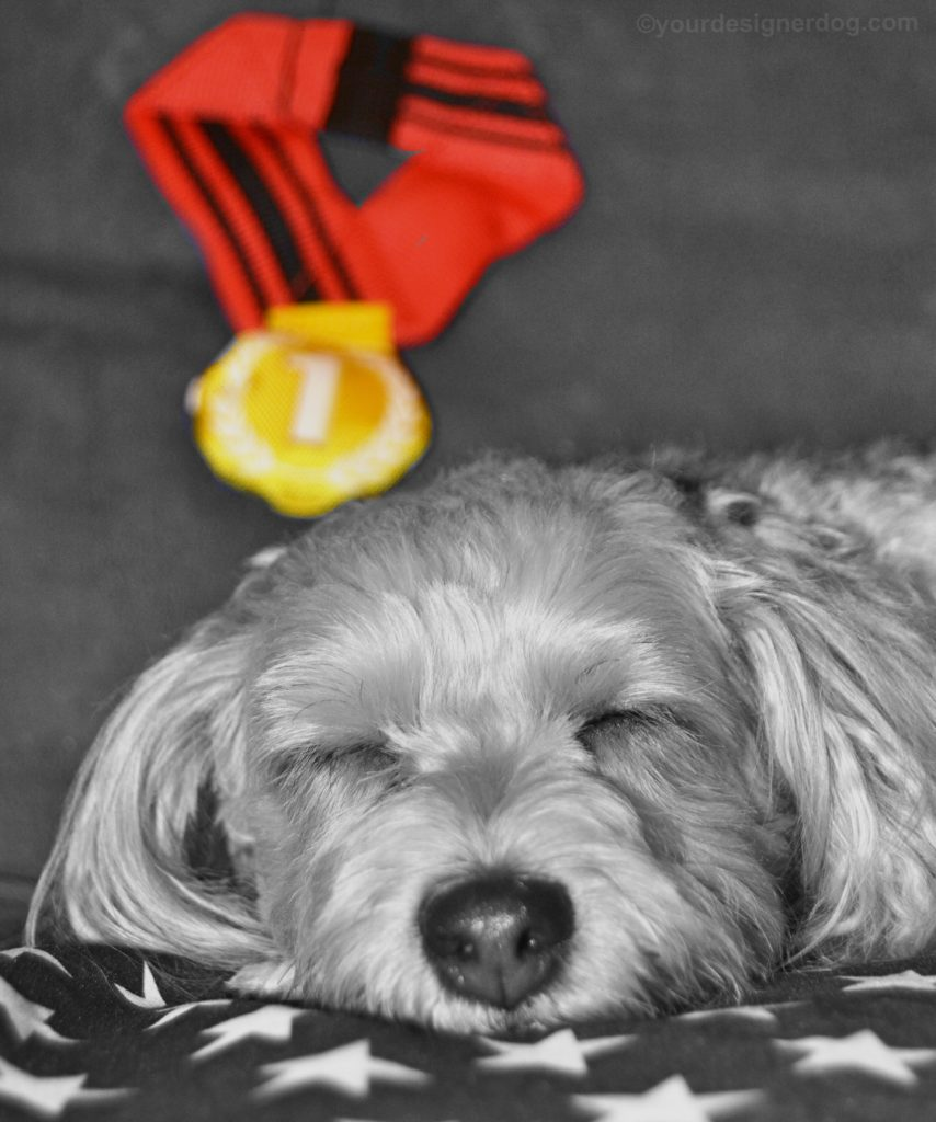 dogs, designer dogs, Yorkipoo, yorkie poo, gold medal, sleepy puppy, american flag, black and white photography, olympics