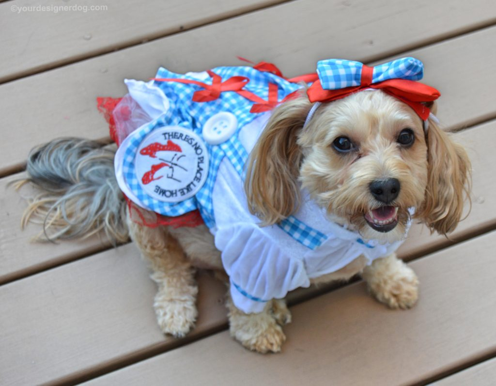 dogs, designer dogs, Yorkipoo, yorkie poo, dog costume, dorothy, wizard of oz
