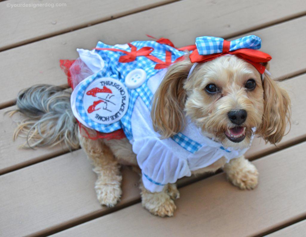 dogs, designer dogs, Yorkipoo, yorkie poo, dog costume, dorothy, wizard of oz