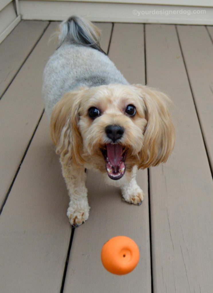 dogs, designer dogs, Yorkipoo, yorkie poo, catch, dog toy, keep your eyes on the ball