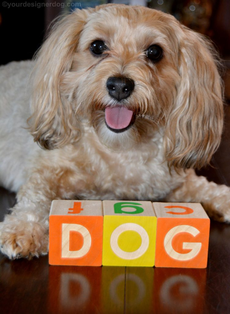 dogs, designer dogs, Yorkipoo, yorkie poo, dog, national dog day