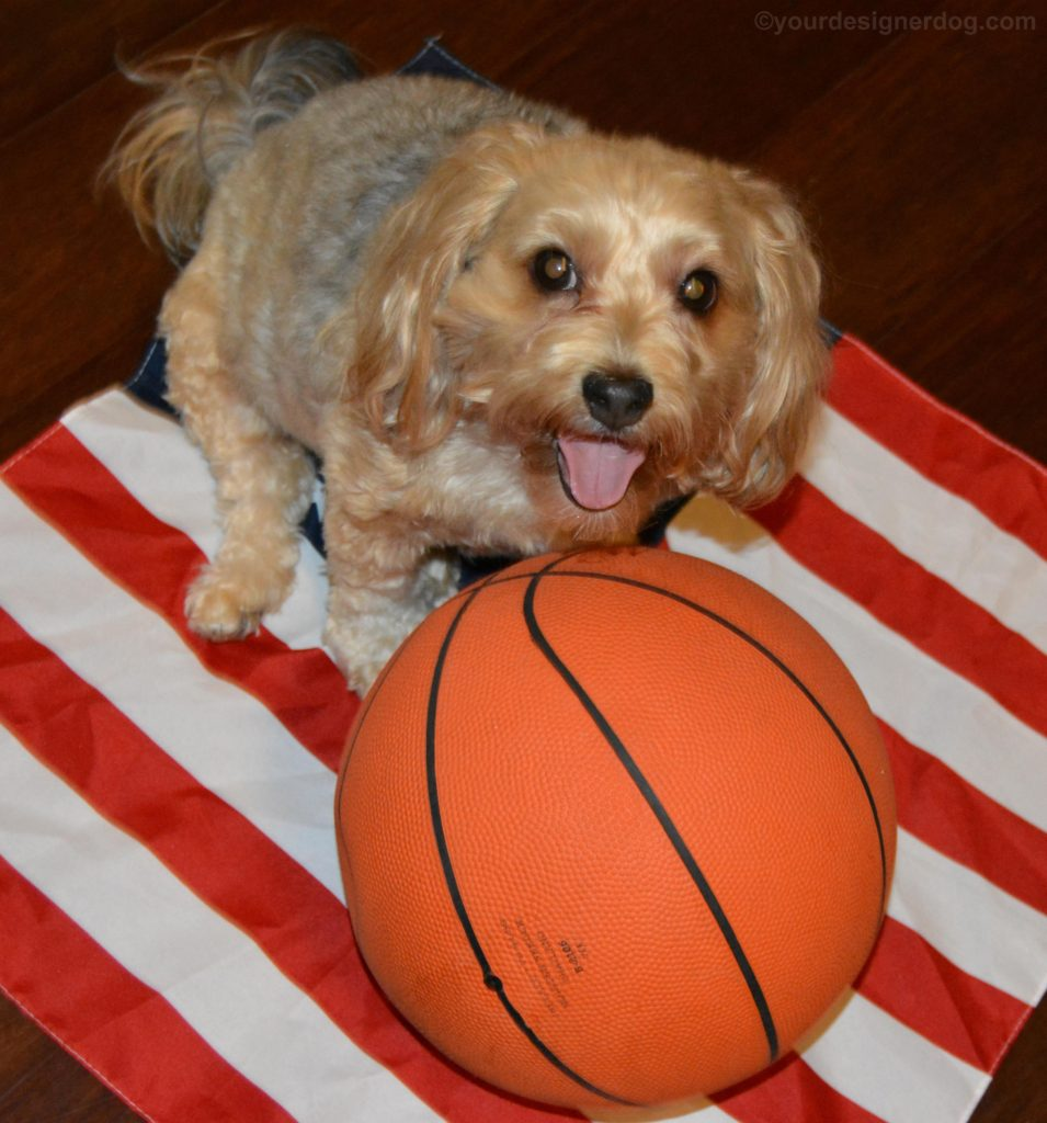 dogs, designer dogs, Yorkipoo, yorkie poo, basketball, tongue out, american flag