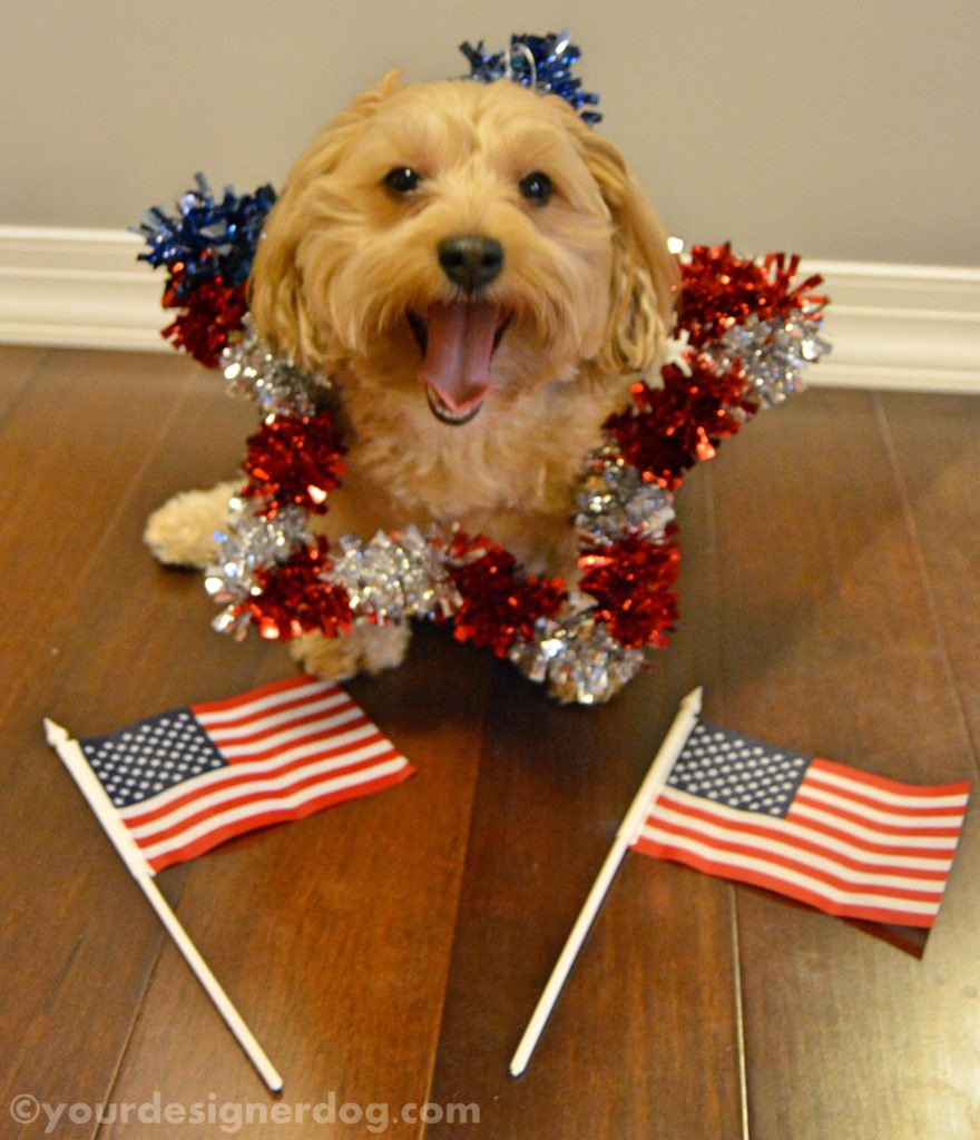 dogs, designer dogs, Yorkipoo, yorkie poo, star, patriotic, american flag, olympics
