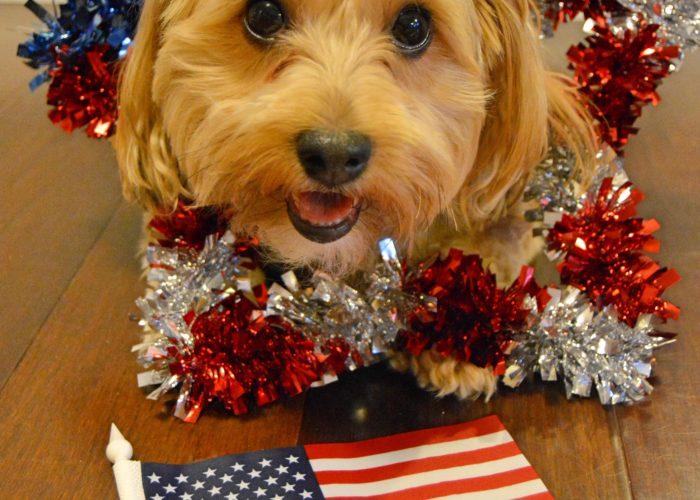 dogs, designer dogs, Yorkipoo, yorkie poo, star, patriotic, american flag, olympics