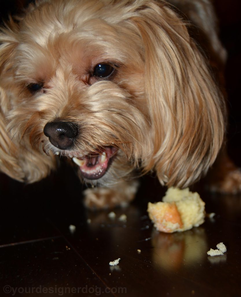 dogs, designer dogs, Yorkipoo, yorkie poo, pupcake, dog treat