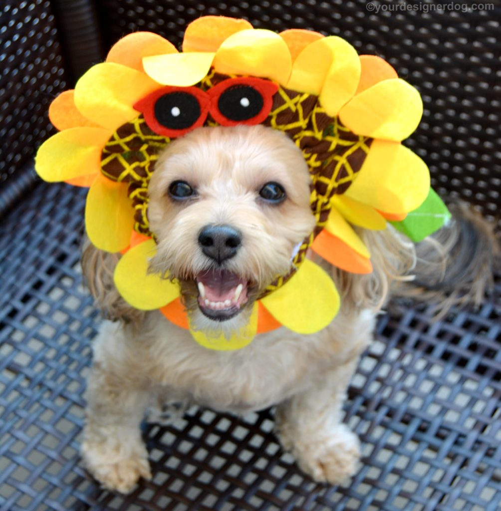 dogs, designer dogs, Yorkipoo, yorkie poo, sunflower, dog hat, dog costume