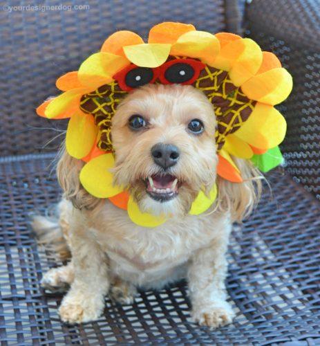 dogs, designer dogs, Yorkipoo, yorkie poo, sunflower, dog hat, dog costume