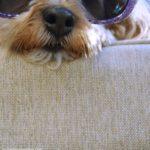 dogs, designer dogs, Yorkipoo, yorkie poo, sunglasses, bloopers