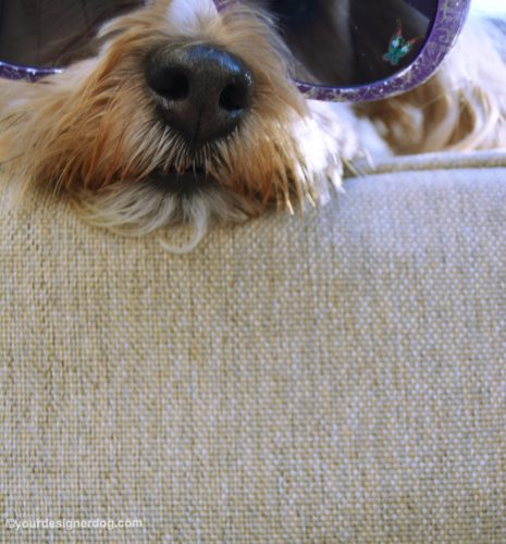 dogs, designer dogs, Yorkipoo, yorkie poo, sunglasses, bloopers