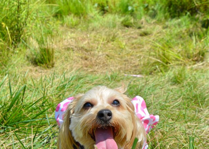 dogs, designer dogs, Yorkipoo, yorkie poo, tongue out, lily pond, dog dress