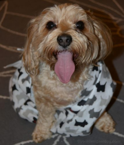 dogs, designer dogs, Yorkipoo, yorkie poo, tongue out, toga