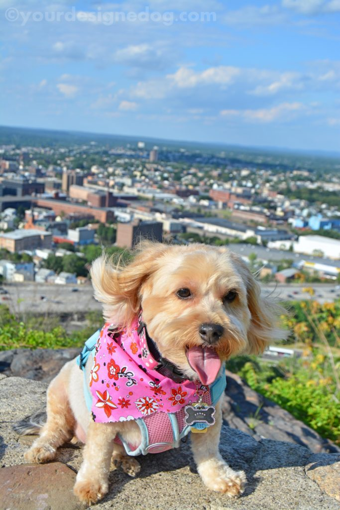 dogs, designer dogs, Yorkipoo, yorkie poo, view point, scenic overlook, tongue out
