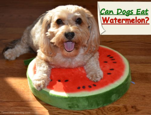 dogs, designer dogs, Yorkipoo, yorkie poo, watermelon, fruit, dog smiling, tongue out