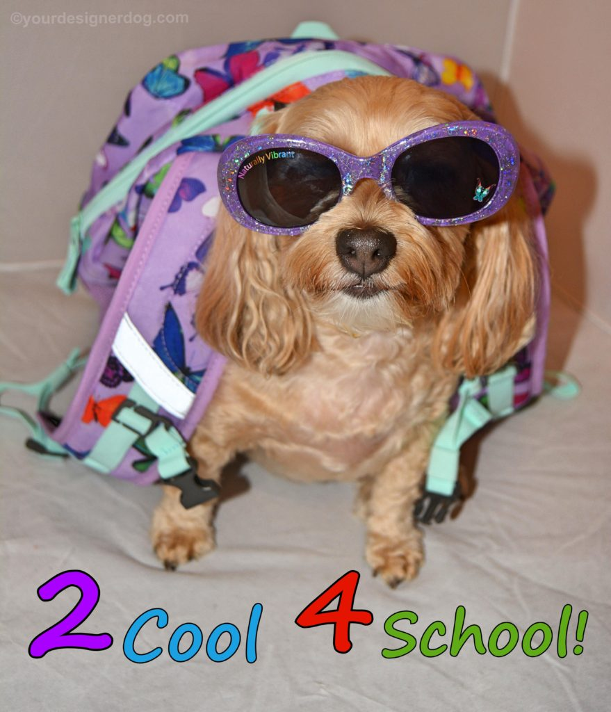 dogs, designer dogs, Yorkipoo, yorkie poo, back to school, too cool for school, dog sunglasses, backpack