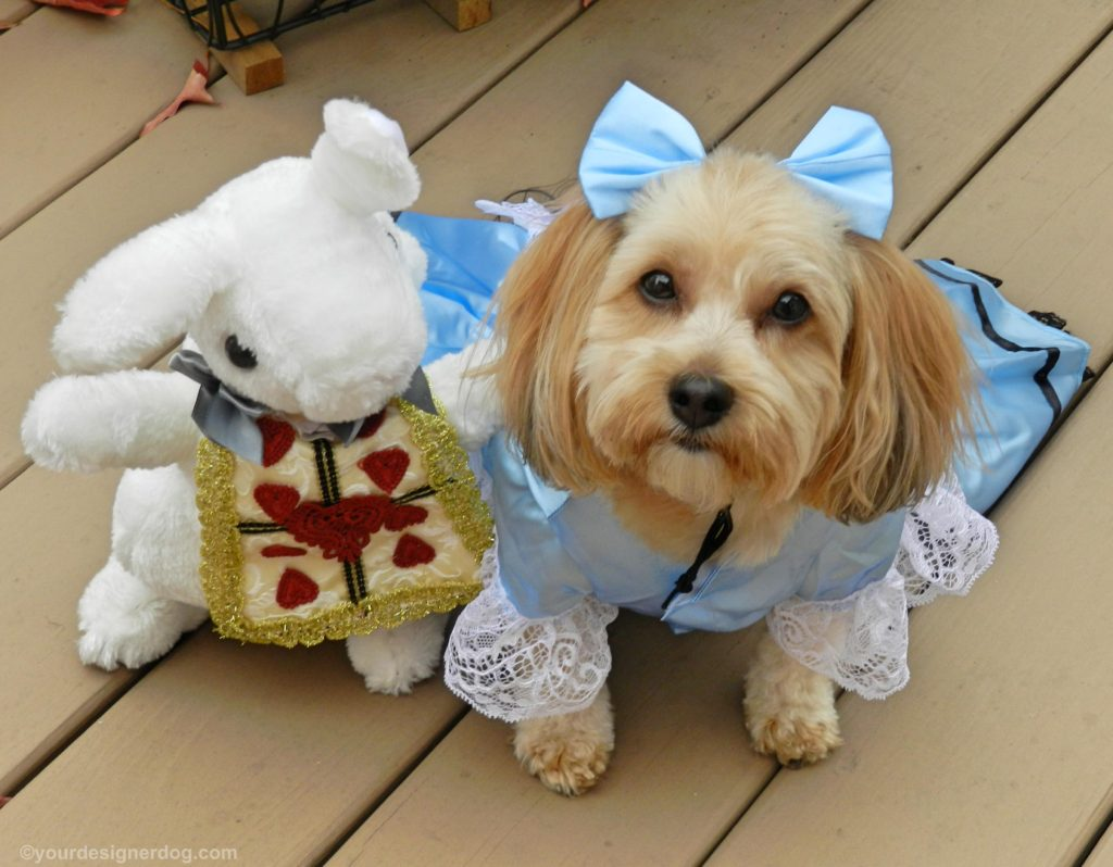 dogs, designer dogs, Yorkipoo, yorkie poo, alice in wonderland, dog costume