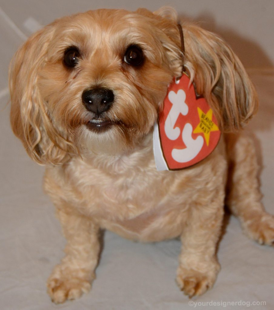 dogs, designer dogs, Yorkipoo, yorkie poo, dog costume, diy, beanie baby
