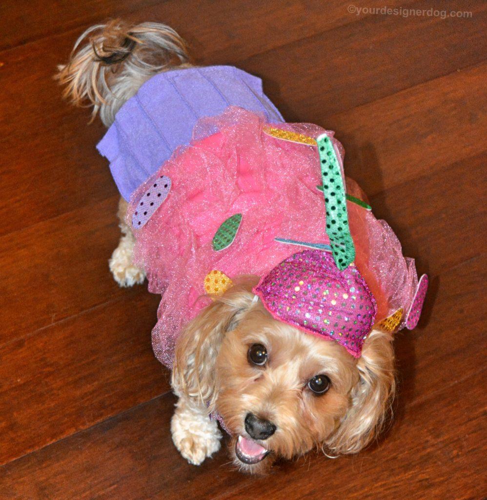 dogs, designer dogs, Yorkipoo, yorkie poo, cupcake, dog costume