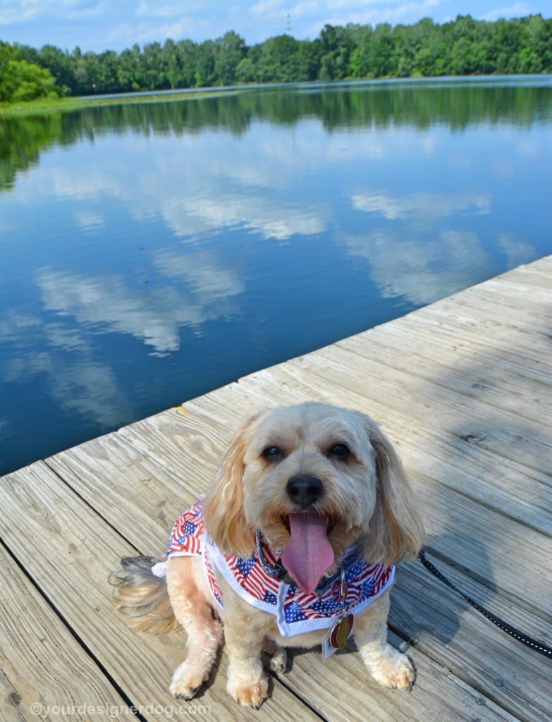 dogs, designer dogs, Yorkipoo, yorkie poo, lake, dock