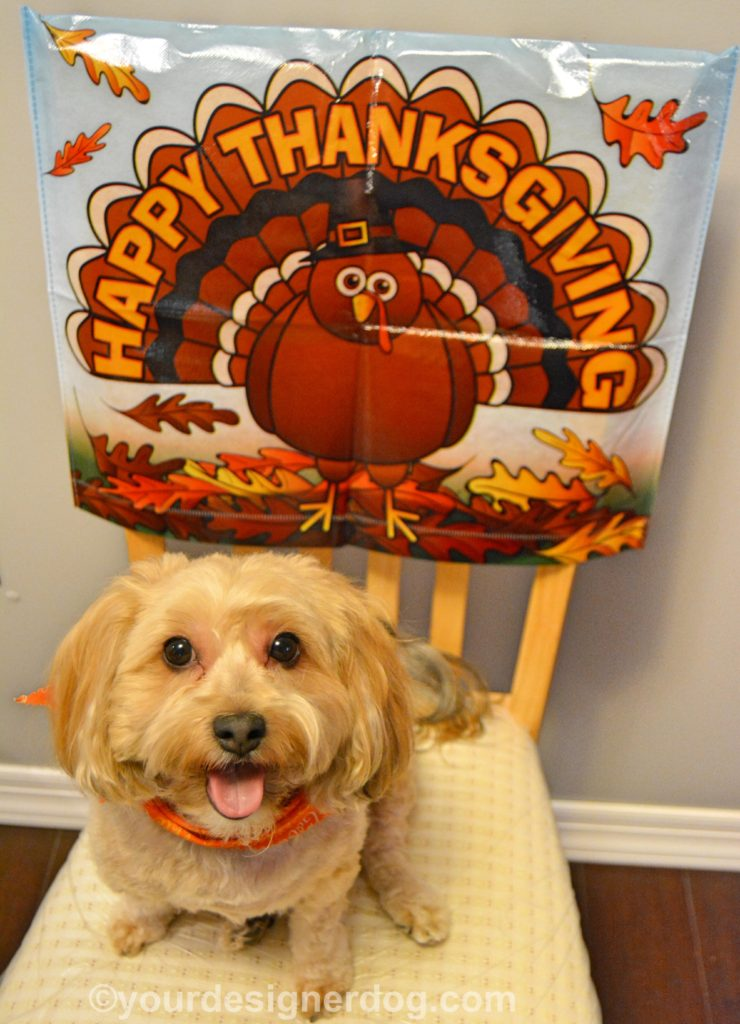 dogs, designer dogs, Yorkipoo, yorkie poo, thanksgiving, turkey
