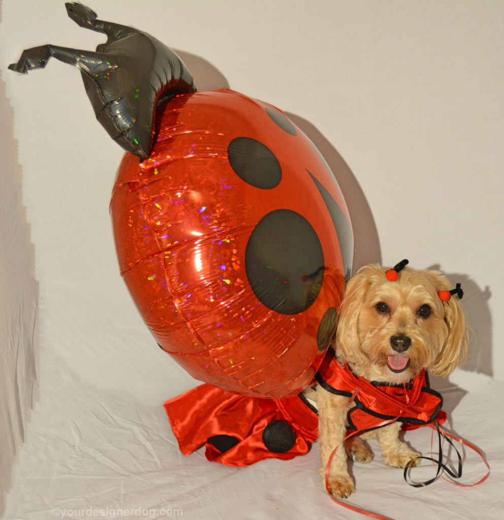 dogs, designer dogs, Yorkipoo, yorkie poo, lady bug, dog costume, balloon