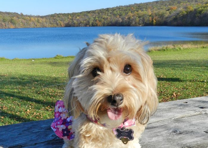 dogs, designer dogs, Yorkipoo, yorkie poo, lake, tongue out, autumn