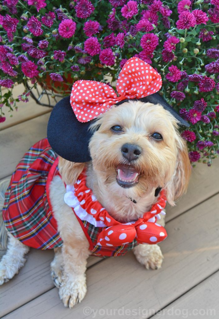 dogs, designer dogs, Yorkipoo, yorkie poo, minnie mouse, dog dress, dog costume
