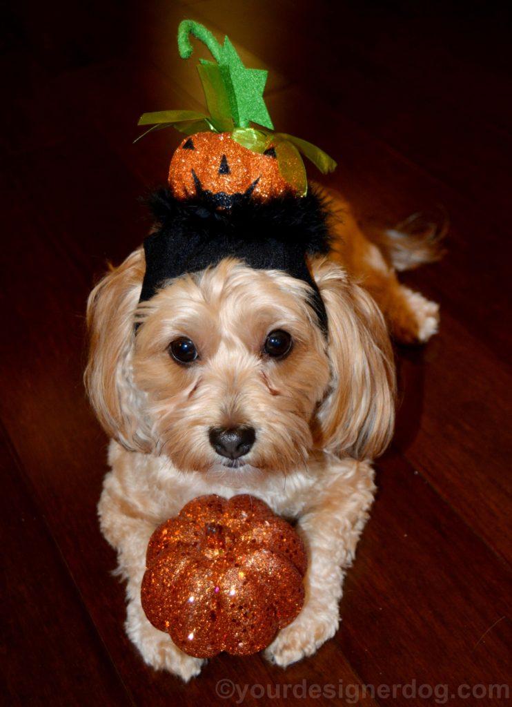 dogs, designer dogs, Yorkipoo, yorkie poo, pumpkin, halloween, jack o lantern hat
