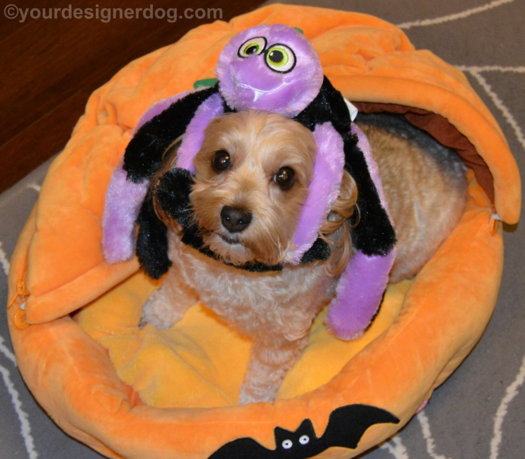 dogs, designer dogs, Yorkipoo, yorkie poo, spider, dog toy, halloween
