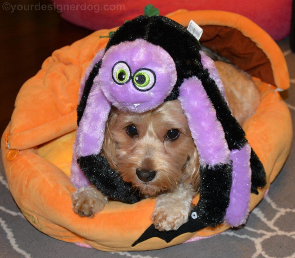 dogs, designer dogs, Yorkipoo, yorkie poo, spider, dog toy, halloween