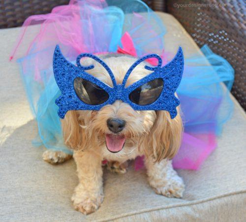 dogs, designer dogs, Yorkipoo, yorkie poo, tutu, masquerade, Mardi Gras