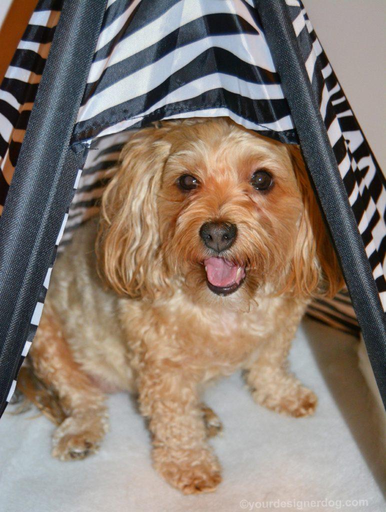 dogs, designer dogs, Yorkipoo, yorkie poo, teepee, dog bed, dog house