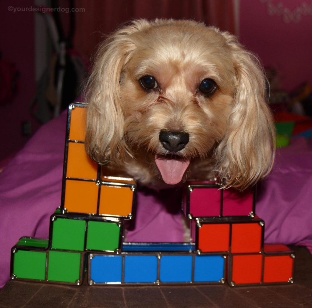 dogs, designer dogs, Yorkipoo, yorkie poo, tetris, tongue out