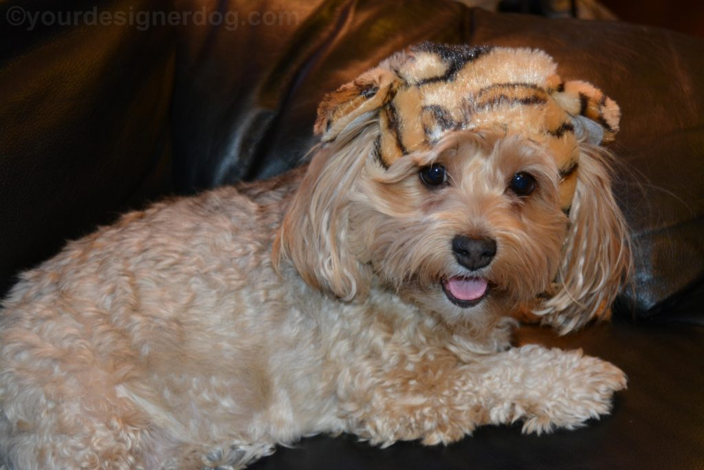 dogs, designer dogs, Yorkipoo, yorkie poo, tongue out, tiger hat