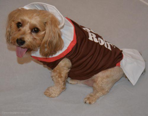 dogs, designer dogs, Yorkipoo, yorkie poo, tootsie roll, dog costume
