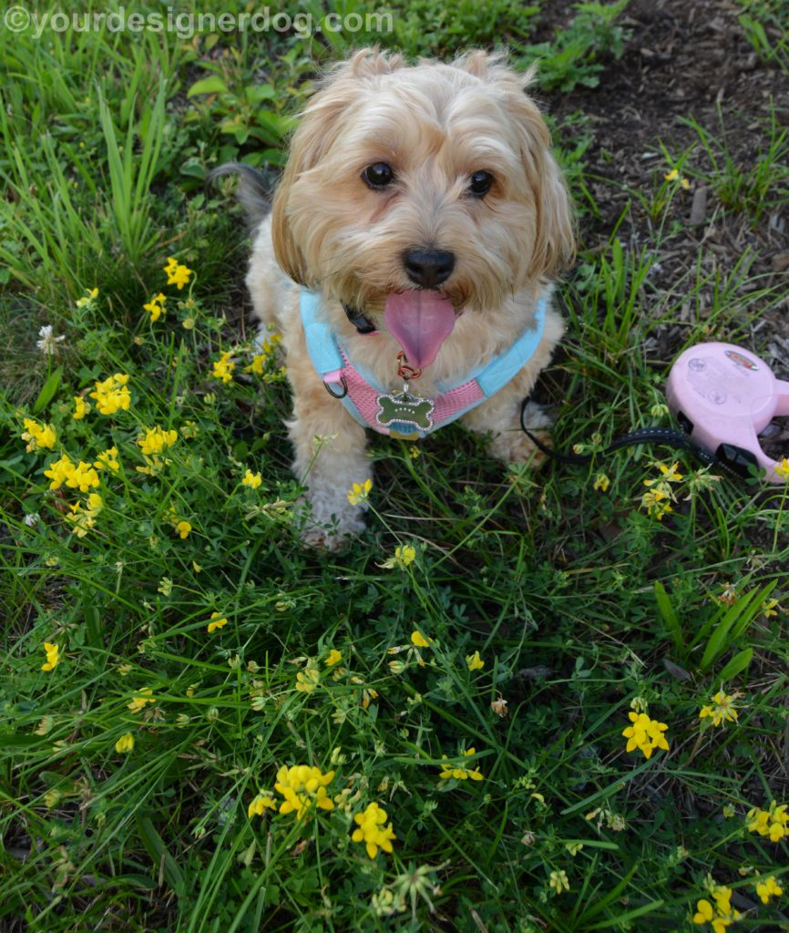dogs, designer dogs, Yorkipoo, yorkie poo, tongue out, wildflowers