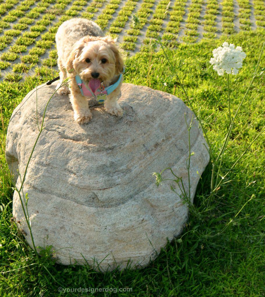 dogs, designer dogs, Yorkipoo, yorkie poo, tongue out, rock perching