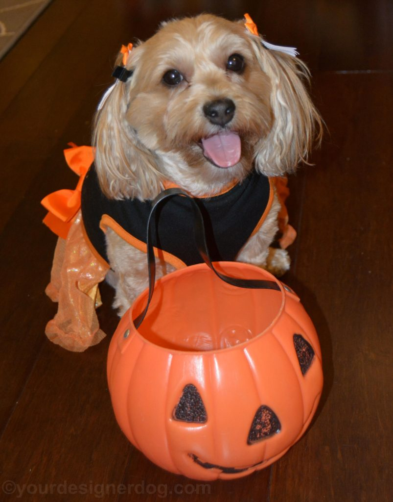 dogs, designer dogs, Yorkipoo, yorkie poo, halloween, trick or treat