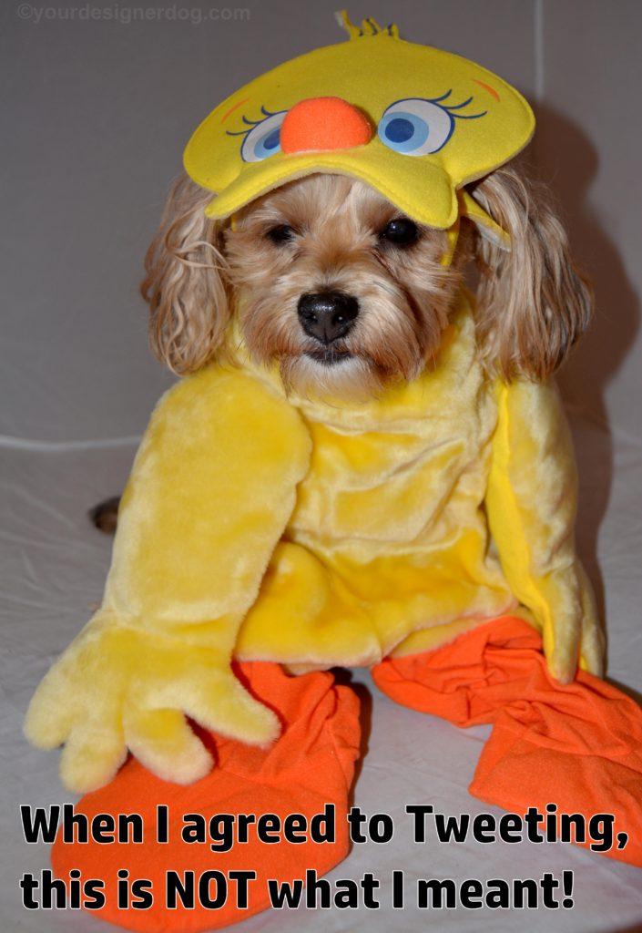 dogs, designer dogs, Yorkipoo, yorkie poo, dog costume, tweety bird