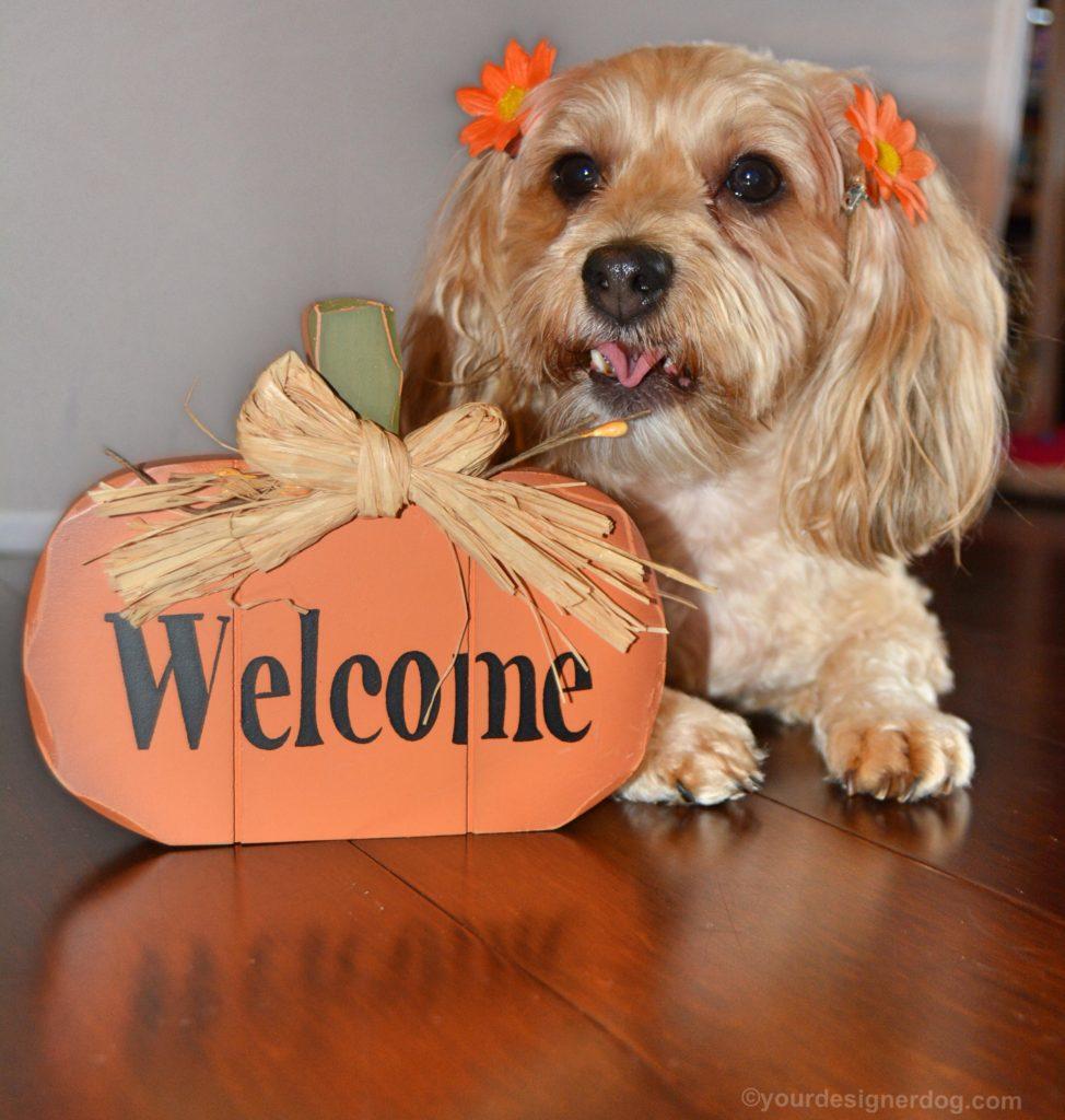 dogs, designer dogs, Yorkipoo, yorkie poo, Fall, Autumn, pumpkin